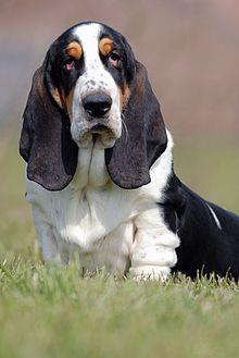 davids-basset-hound