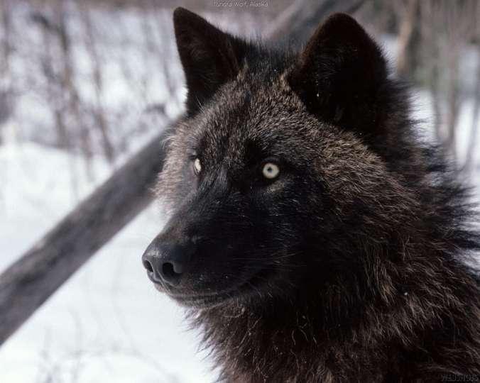 jims-black-wolf-jimi