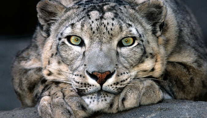 tonys-snow-leopard-cagney