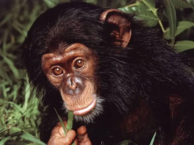 Spencers Chimpanzee Leonardo